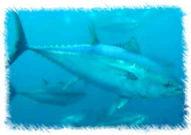 The tuna fish description and italian names for Names of fish to eat